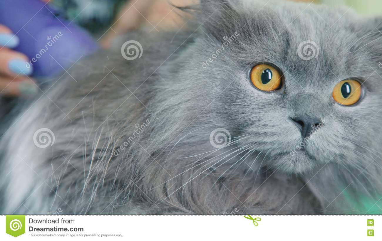 Beautiful Gray Cat In A Veterinary Clinic British Cat On A Haircut