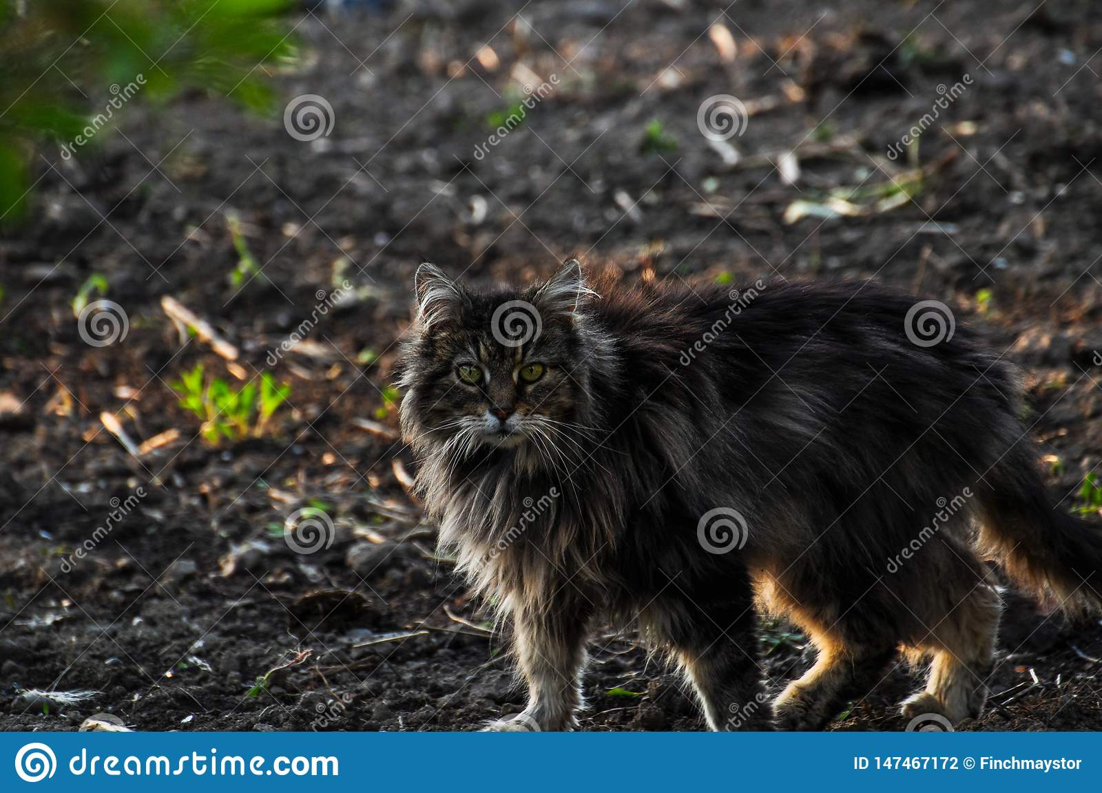 Beautiful gray cat walking on the ground.Gray cat.Domestic animal.Outdoor