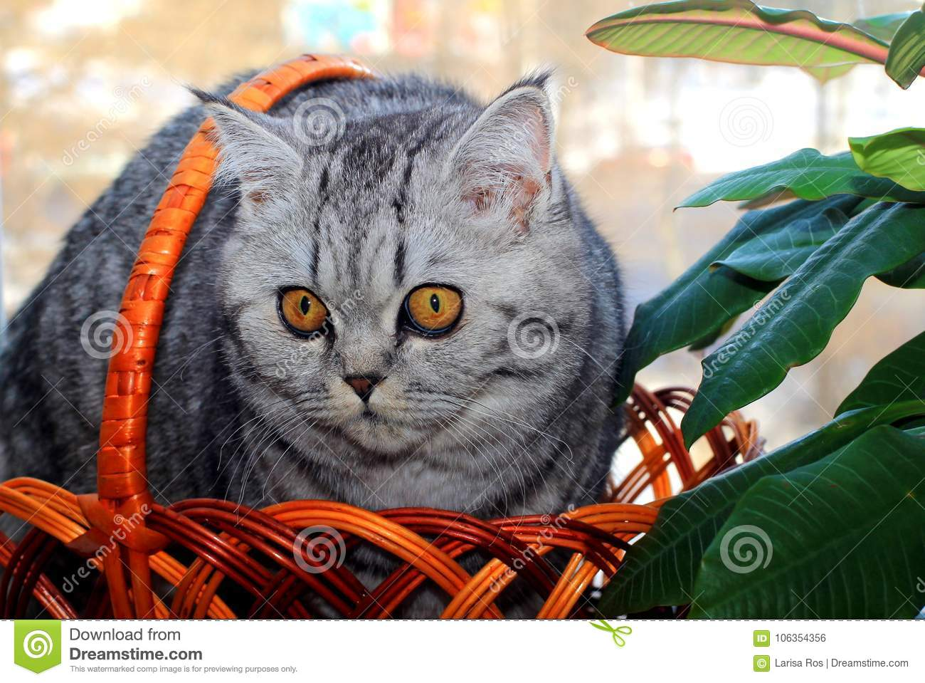 A beautiful gray kitten with yellow eyes sits in a basket near the flower.