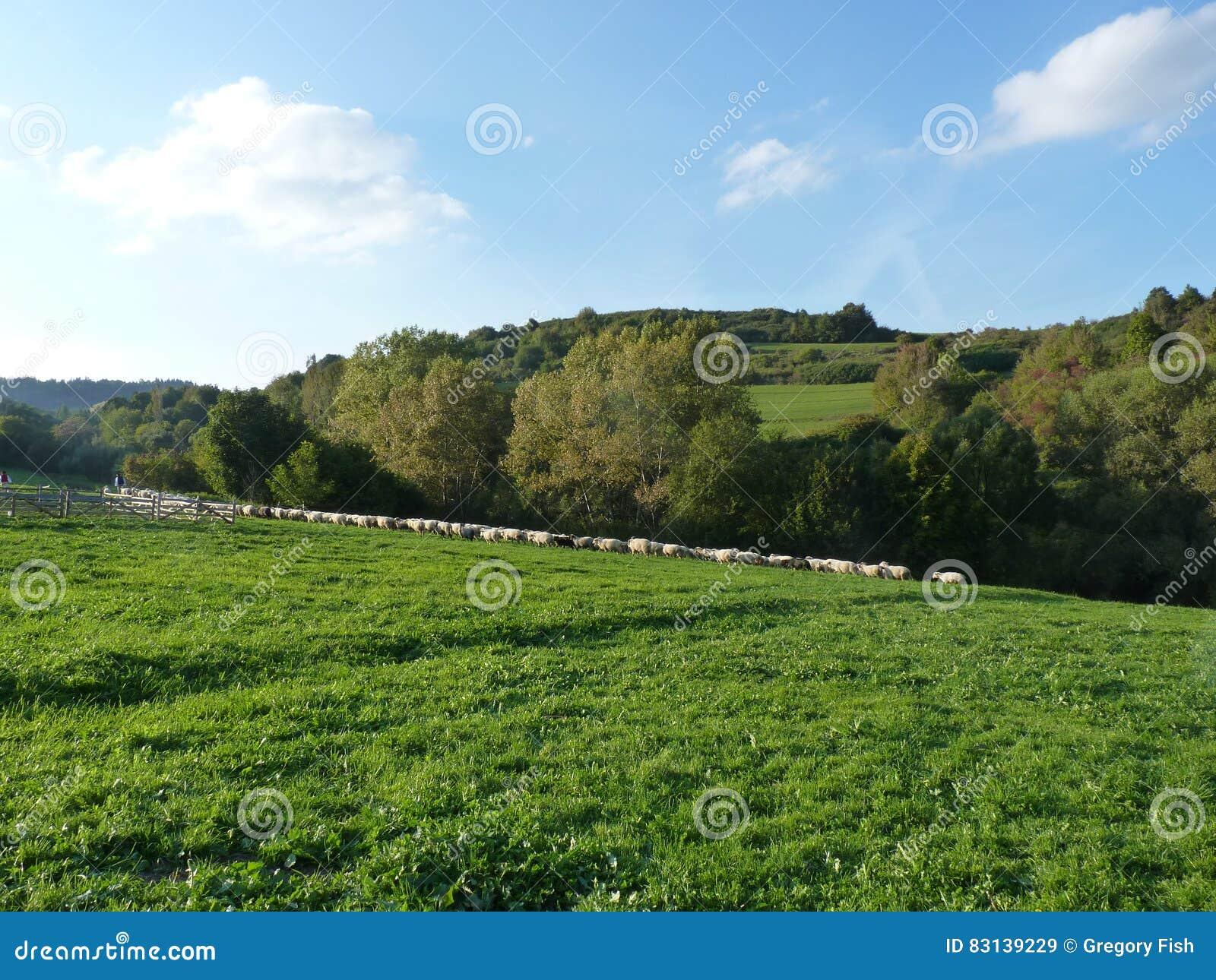 Beautiful grazing flock of sheep at sunset