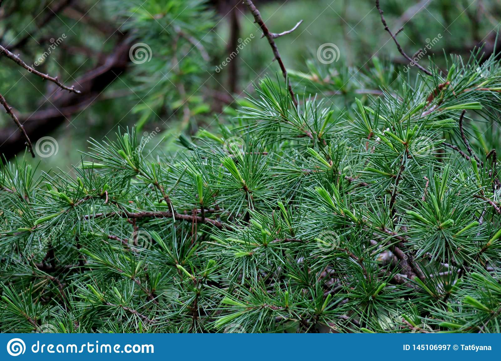Beautiful green background from the branches of pine needles close-up
