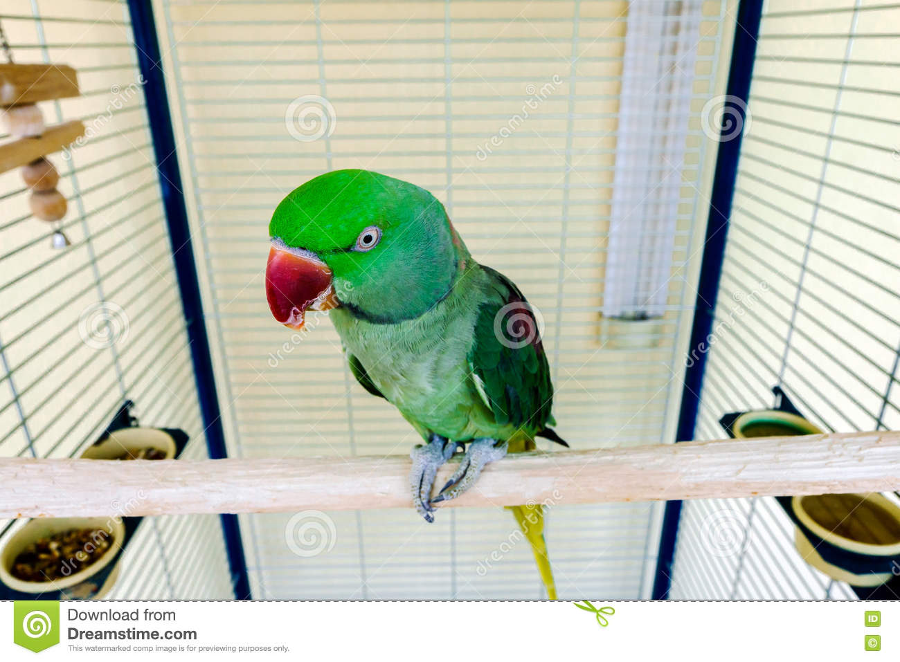 Home pets: wavy parrot - maintenance and care