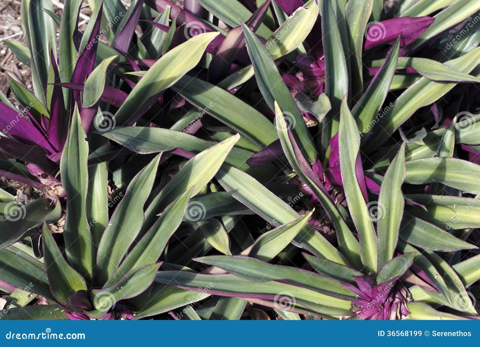 Beautiful Green And Purple Plant Stock Image - Image of foliage, florida: 36568199
