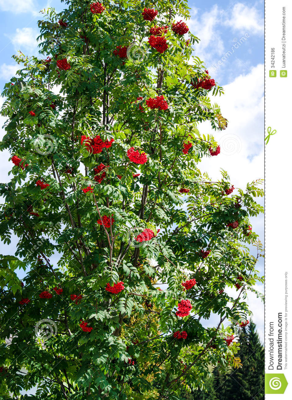 Beautiful fruit pictures - Beautiful Green Tree Full Of Red Wild Berrie Fruits