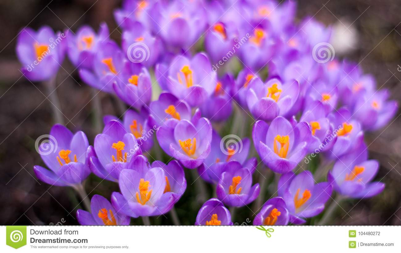 Beautiful Crocus Flowers At The Beginning Of Spring Stock Photo