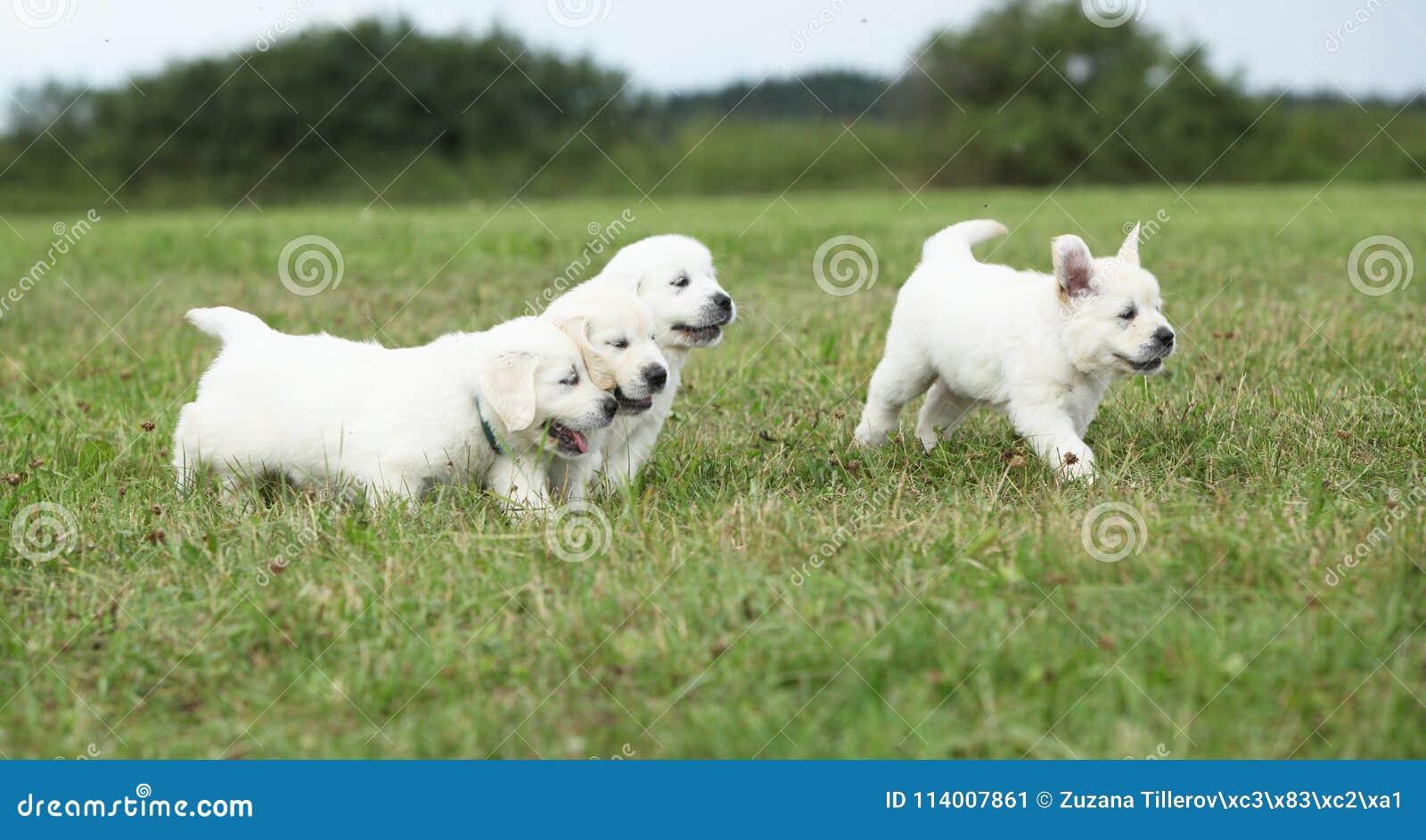 Beautiful Group Of Golden Retriever Puppies Running Stock Image