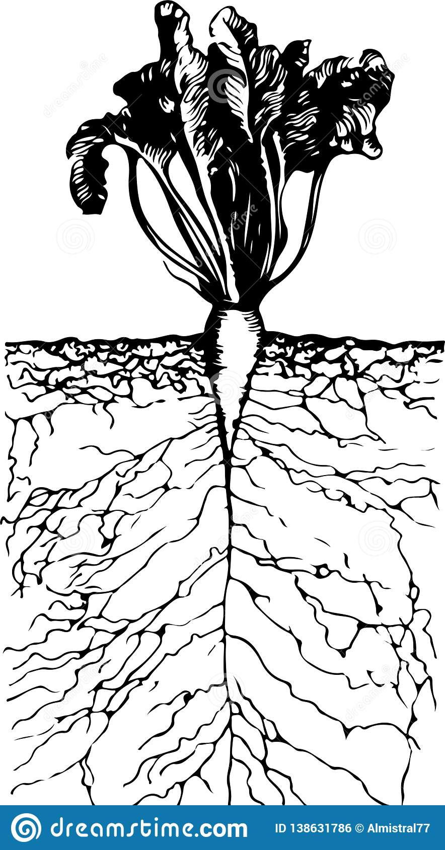 Beautiful growing beetroot with roots in the ground inside view