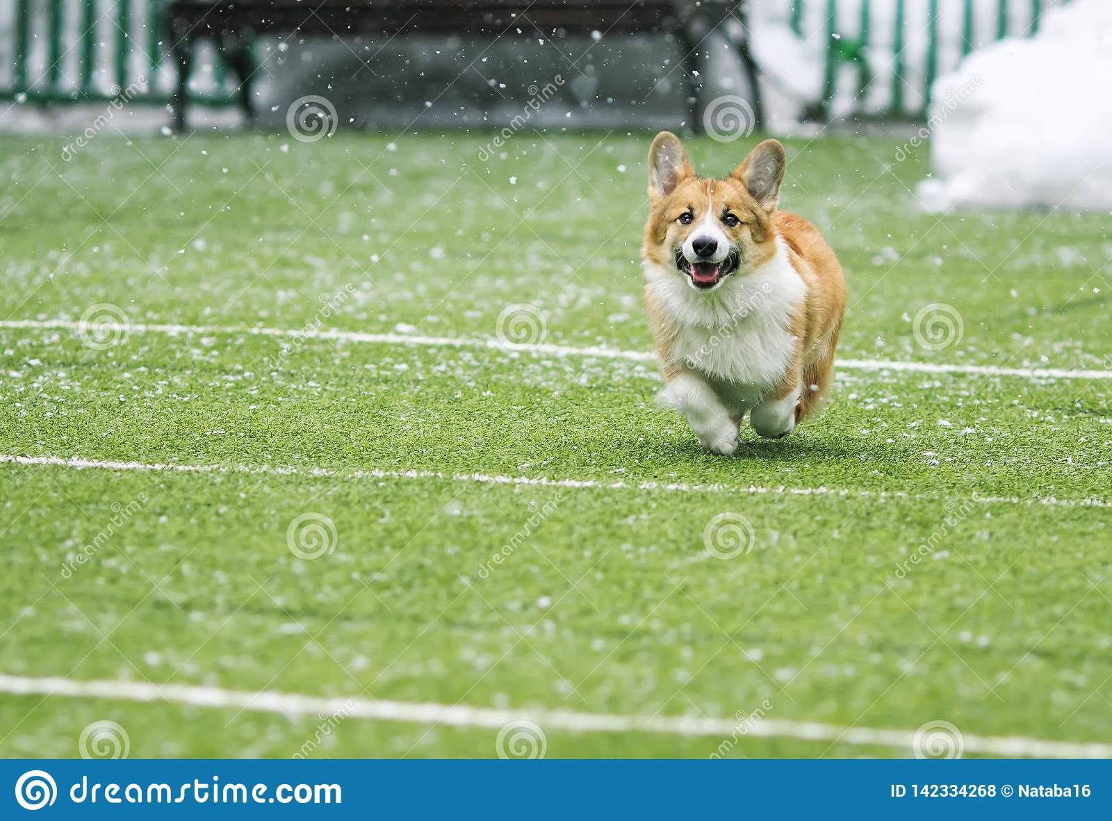 happy little puppy red dog breed Corgi fun running around the green football field on the Playground on the streets in