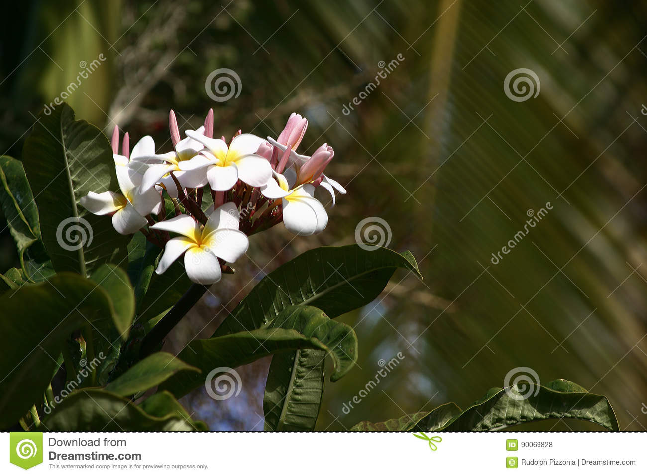 Hawaii plumeria flowers used in hawaiian leis stock photo image of hawaii plumeria flowers used in hawaiian leis izmirmasajfo Choice Image