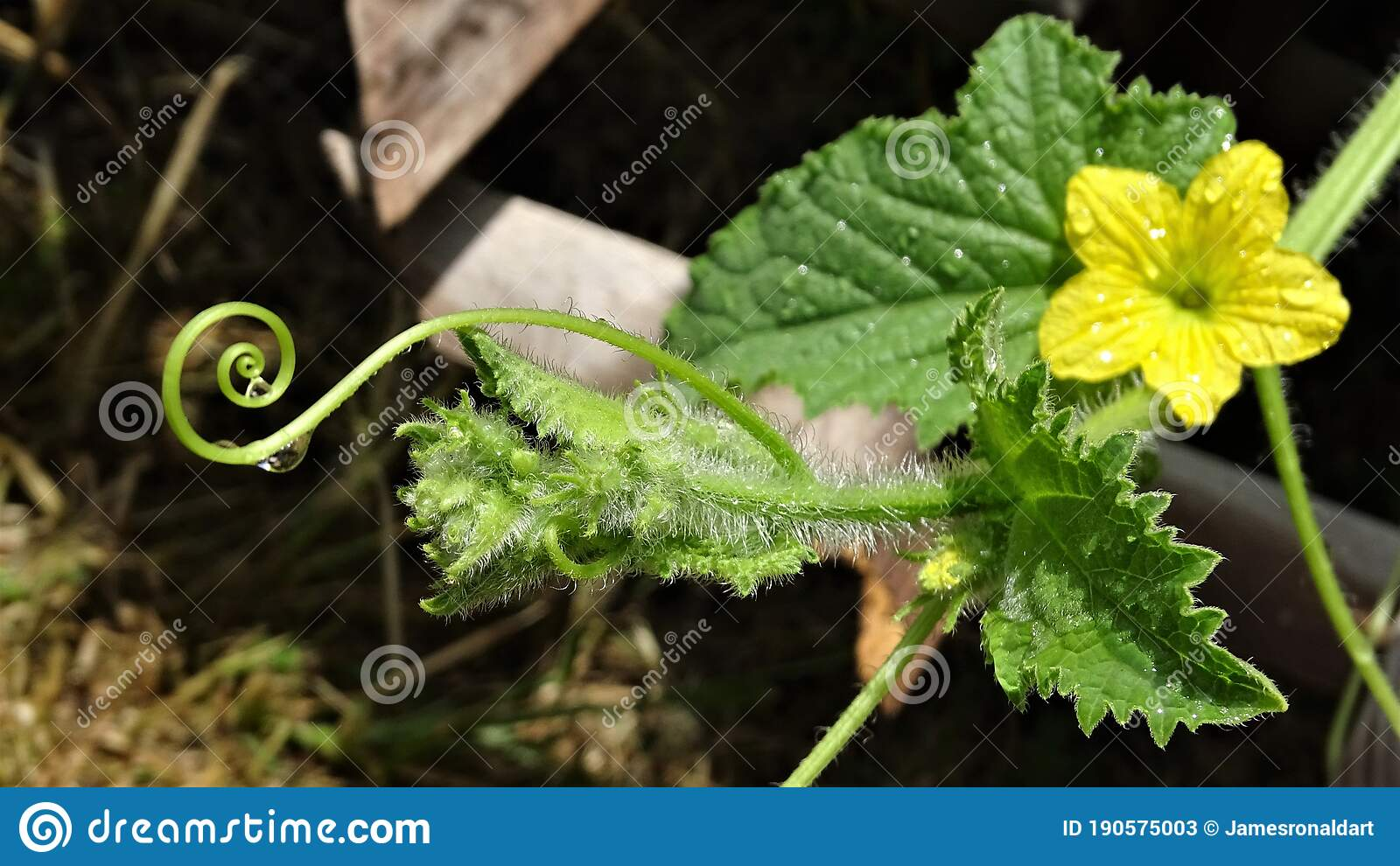 236 Cantaloupe Vine Photos Free Royalty Free Stock Photos From Dreamstime Cantaloupe vine is a synonym for cantaloup vine. dreamstime com