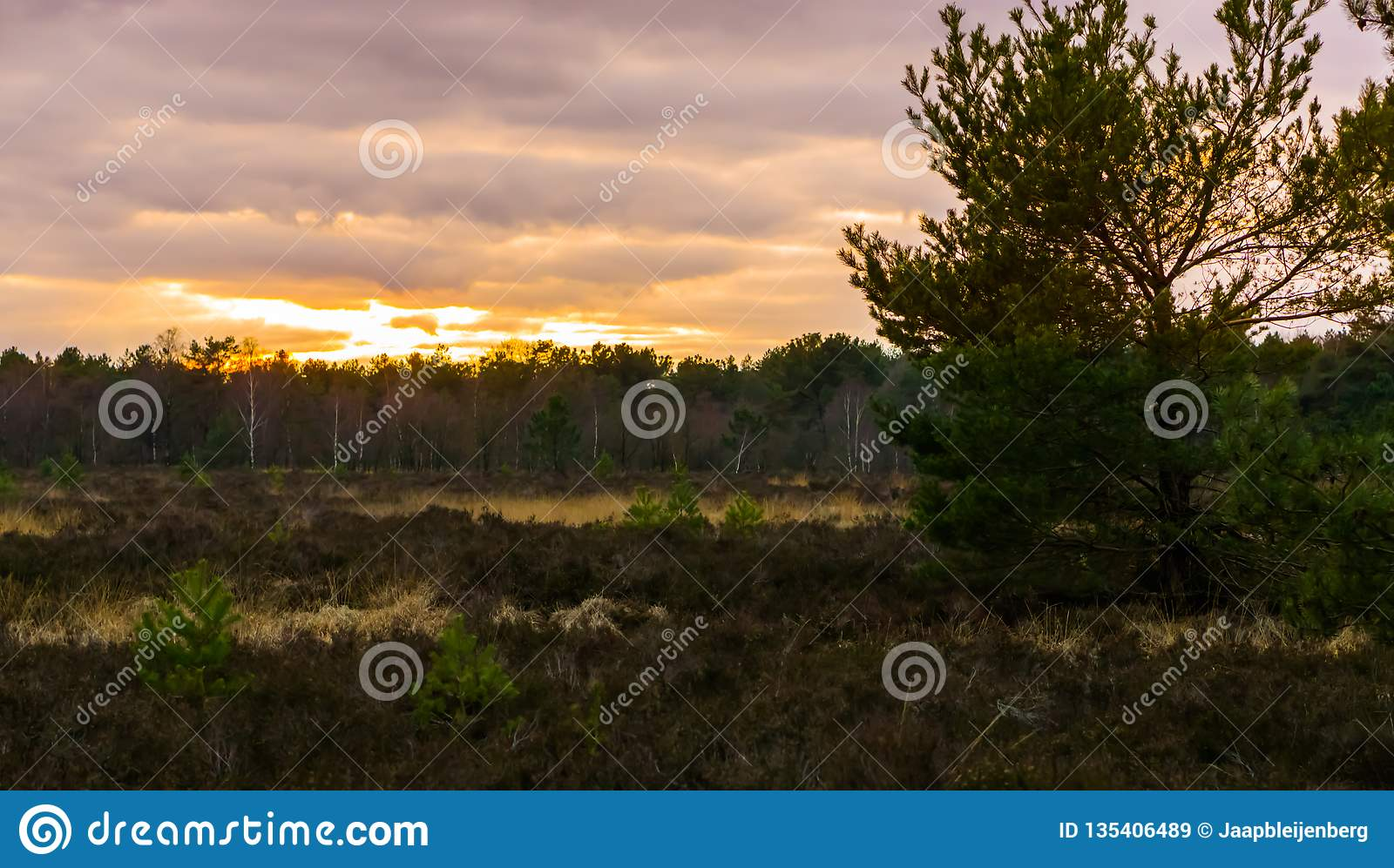 Beautiful heather landscape with a tree and view on the forest at sunset, sundown giving a colorful effect in the sky and clouds