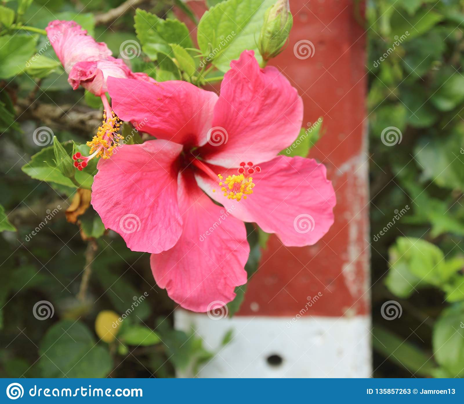 Beautiful Hibiscus Flower In The Garden Stock Image Image Of