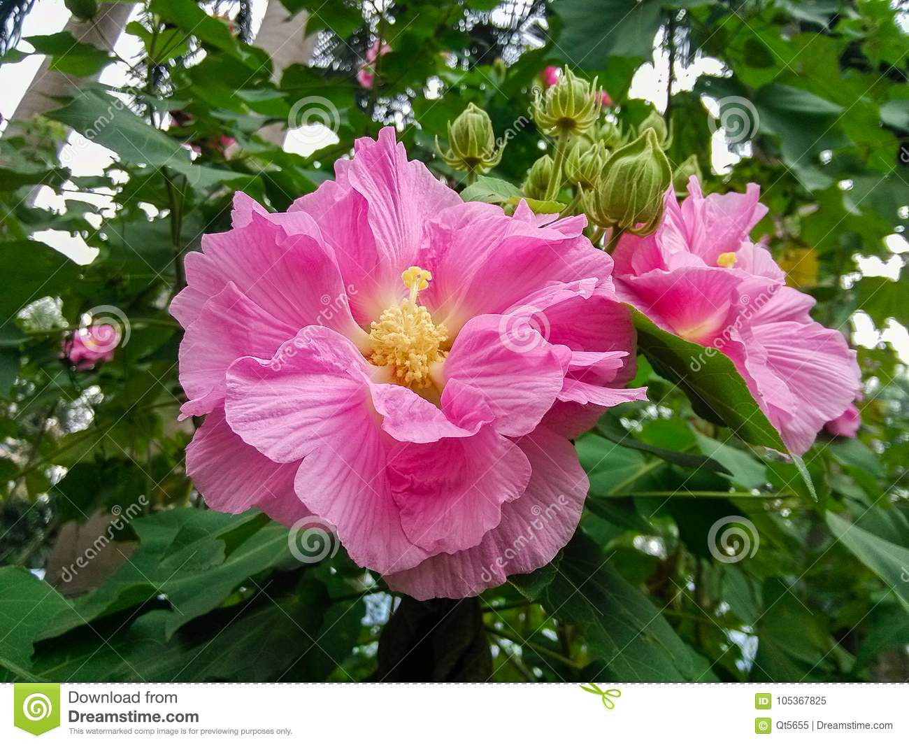 Beautiful Hibiscus Flowers On The Farm Stock Image Image Of Farm