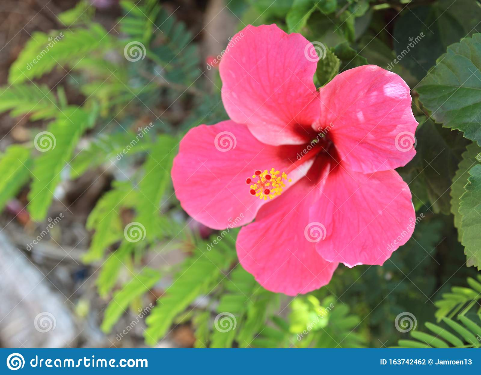 Beautiful Hibiscus Flowers In A Flower Garden Stock Photo Image Of Water Petal 163742462