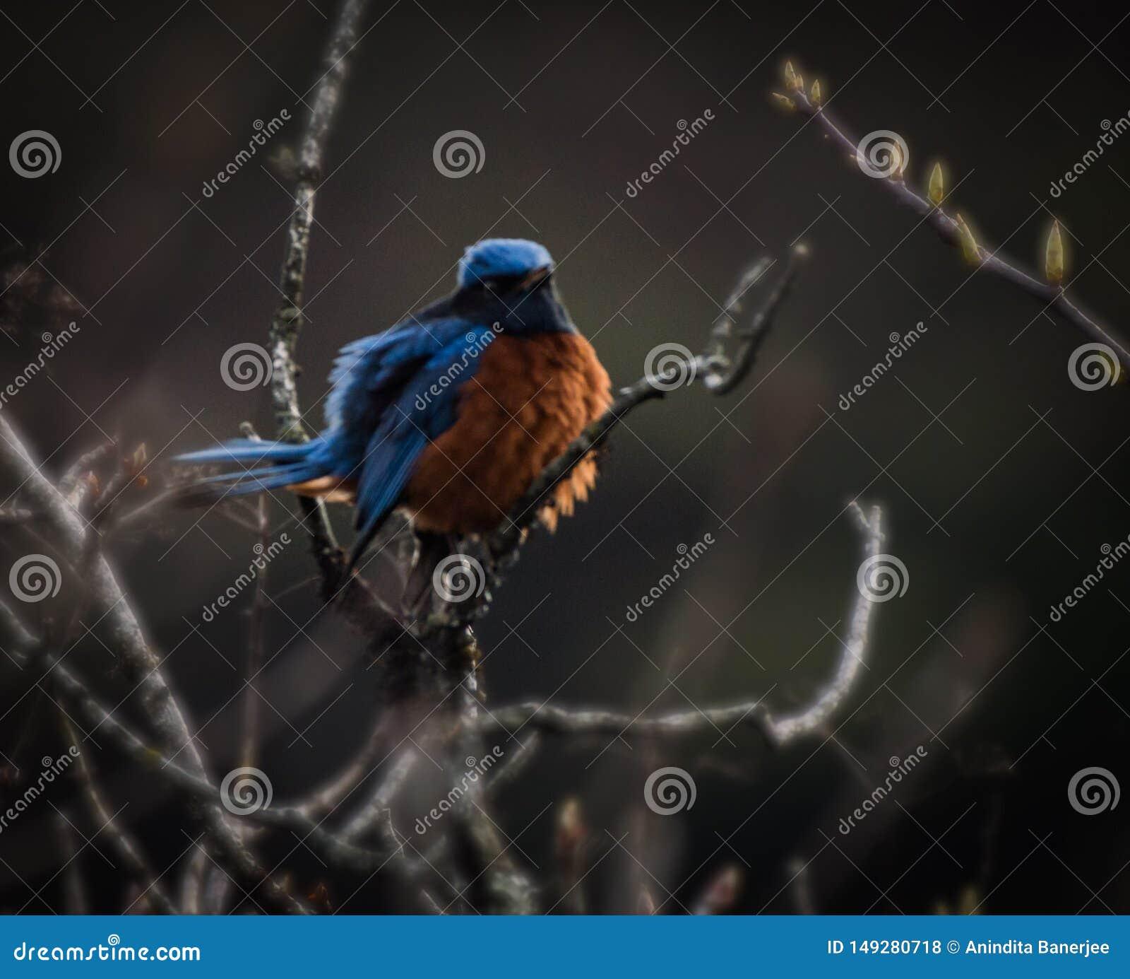 Himalayan blue bird