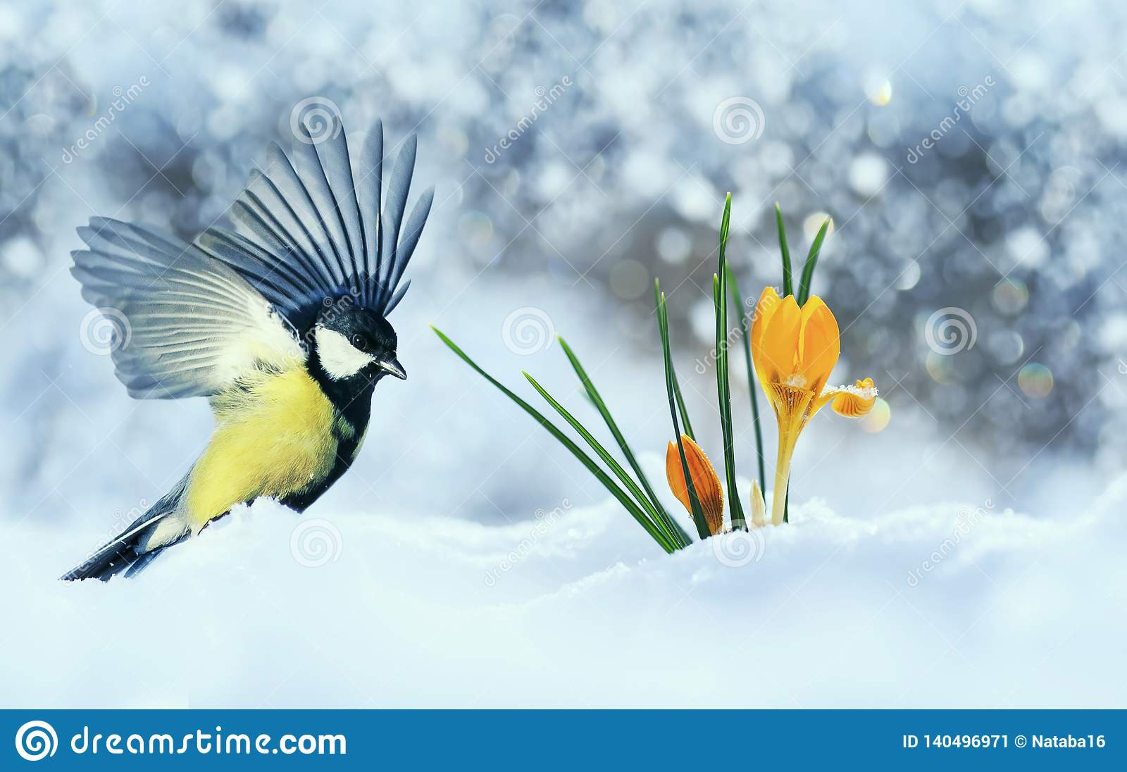 Beautiful holiday card with bird tit flew widely spreading its wings to the first delicate yellow flowers crocuses making their