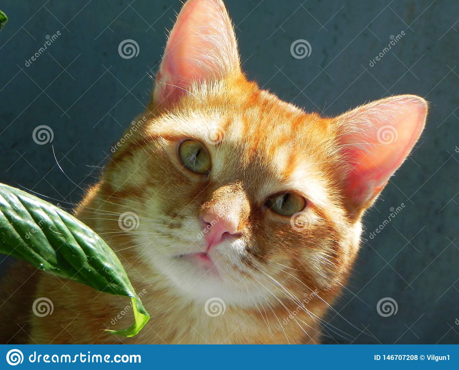 Beautiful home cat. Ginger cat in a vibrant hue. Details and close-up.