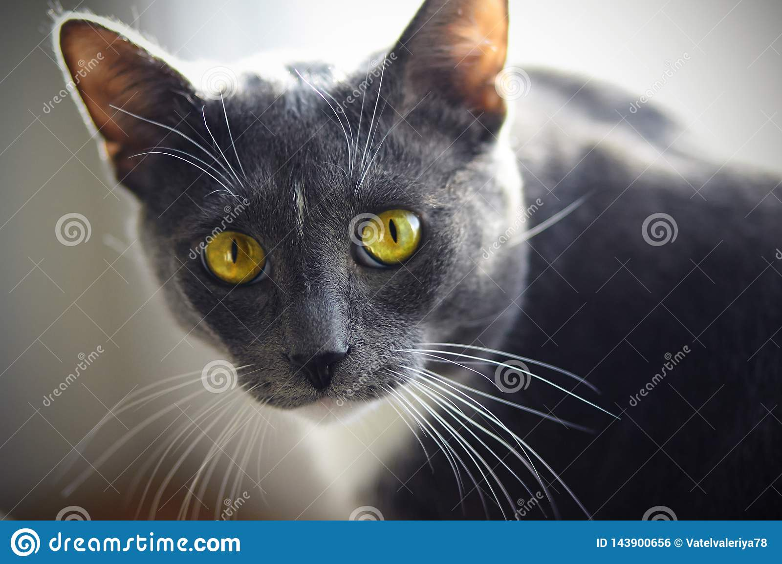 A beautiful home cat of gray color with a white spot on the forehead