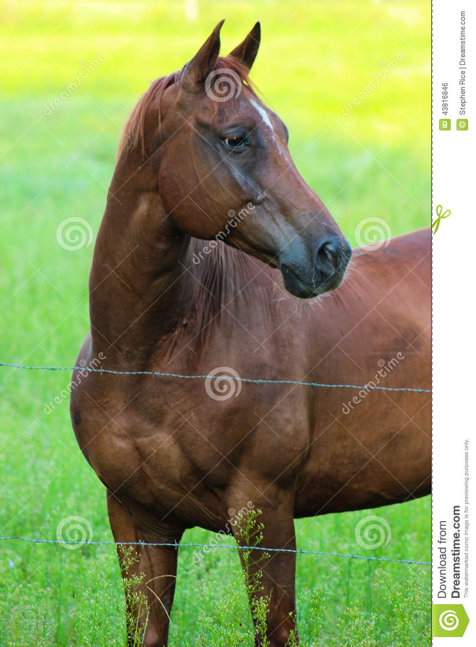 Beautiful Horse Behind Barbed Wire Fence Stock Photo