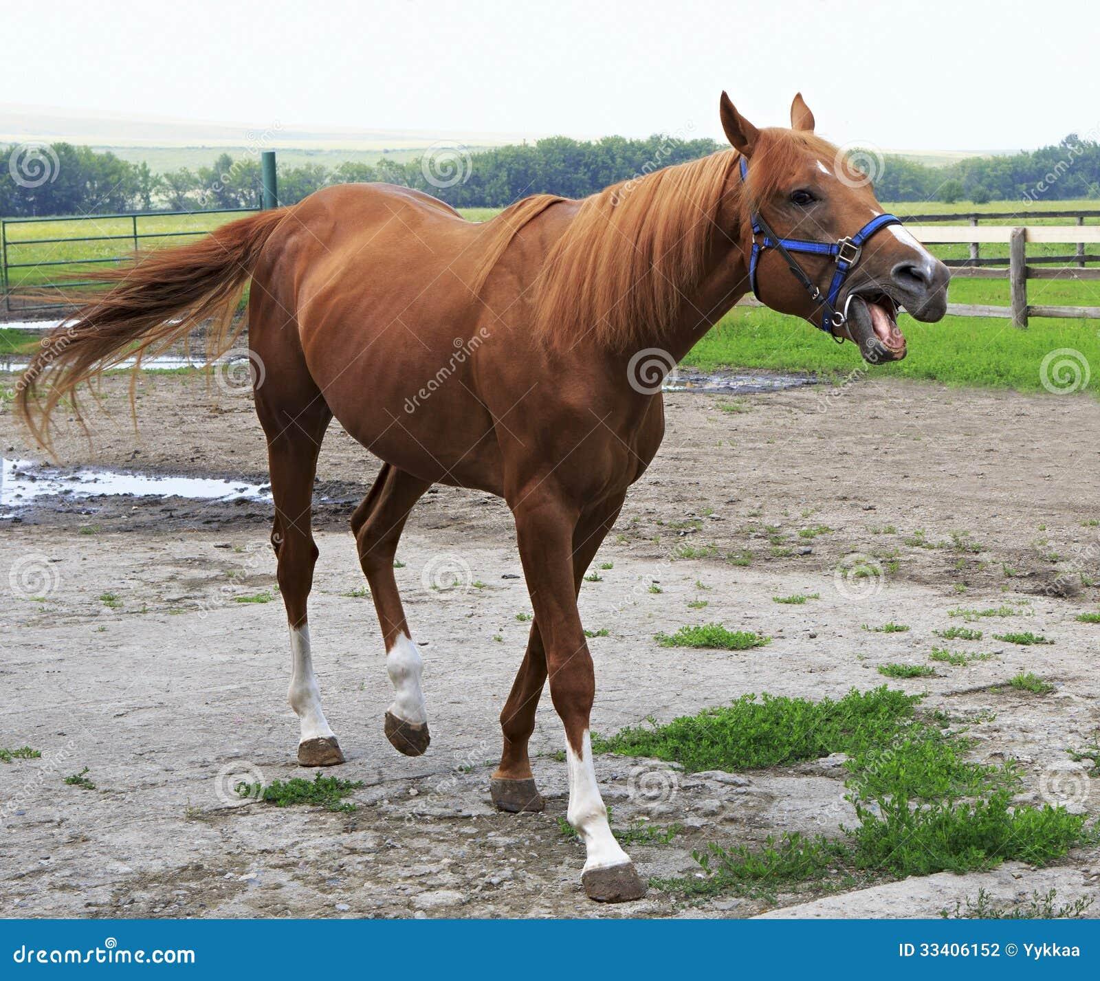 Beautiful Horse Chestnut Stallion British Breed ... - photo#7