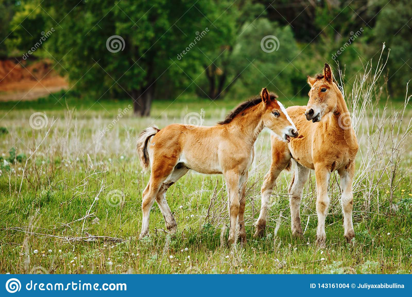 Beautiful Horse Is Eating Grass In The Field Stock Photo Image Of Playing Pasture 143161004