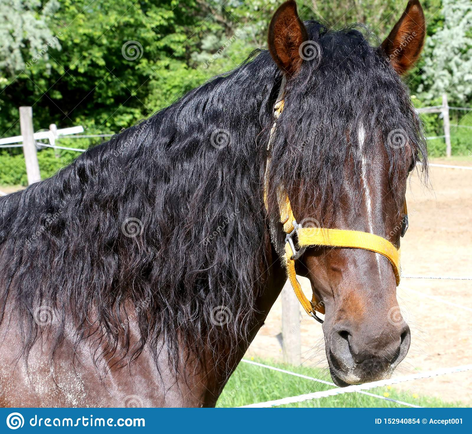 Beautiful Horse Head Closeup With Reins During Training Stock Photo Image Of Clever Closeup 152940854
