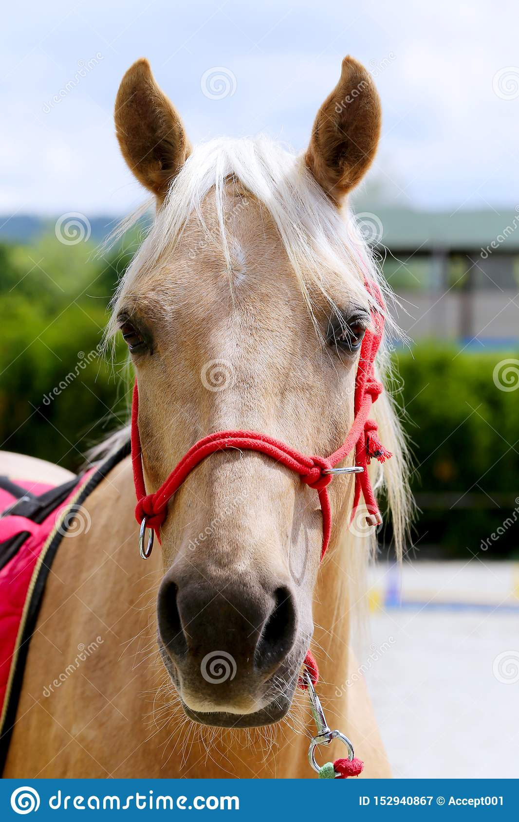 Beautiful Horse Head Closeup With Reins During Training Stock Image Image Of Equine Creature 152940867