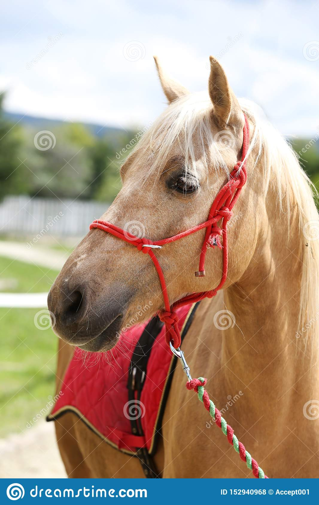 Beautiful Horse Head Closeup With Reins During Training Stock Photo Image Of Domestic Color 152940968
