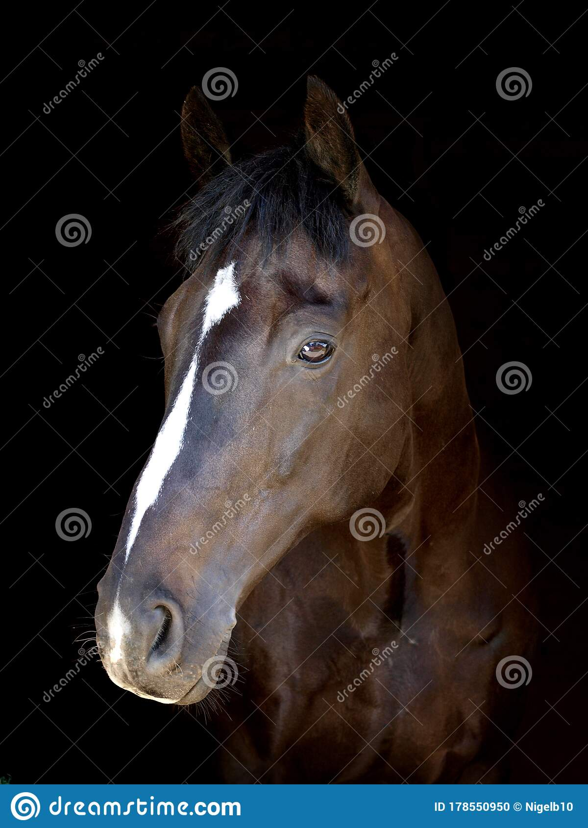 Beautiful Horse Head Shot Stock Photo Image Of Looking 178550950