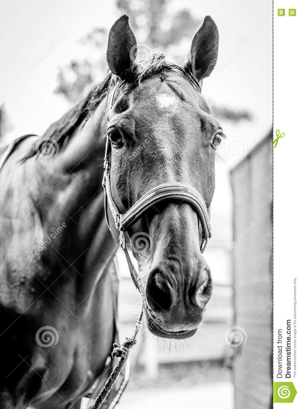 Beautiful Horse Portrait In Black And White Stock Image ...