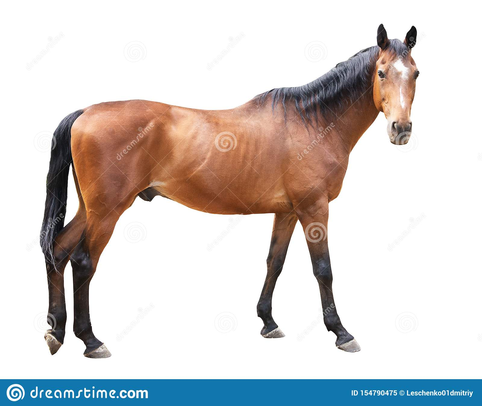 Beautiful Horse Ukrainian Riding Horse Horse Carved On A White Background Stock Image Image Of Sport Strong 154790475