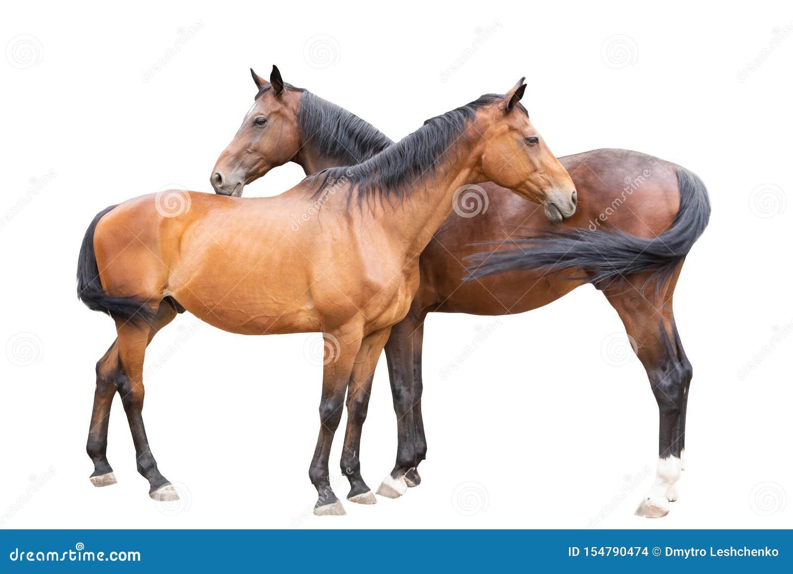 Beautiful Horses Racehorse English Racehorse Ukrainian Riding Horse Stock Photo Image Of Racing Strong 154790474