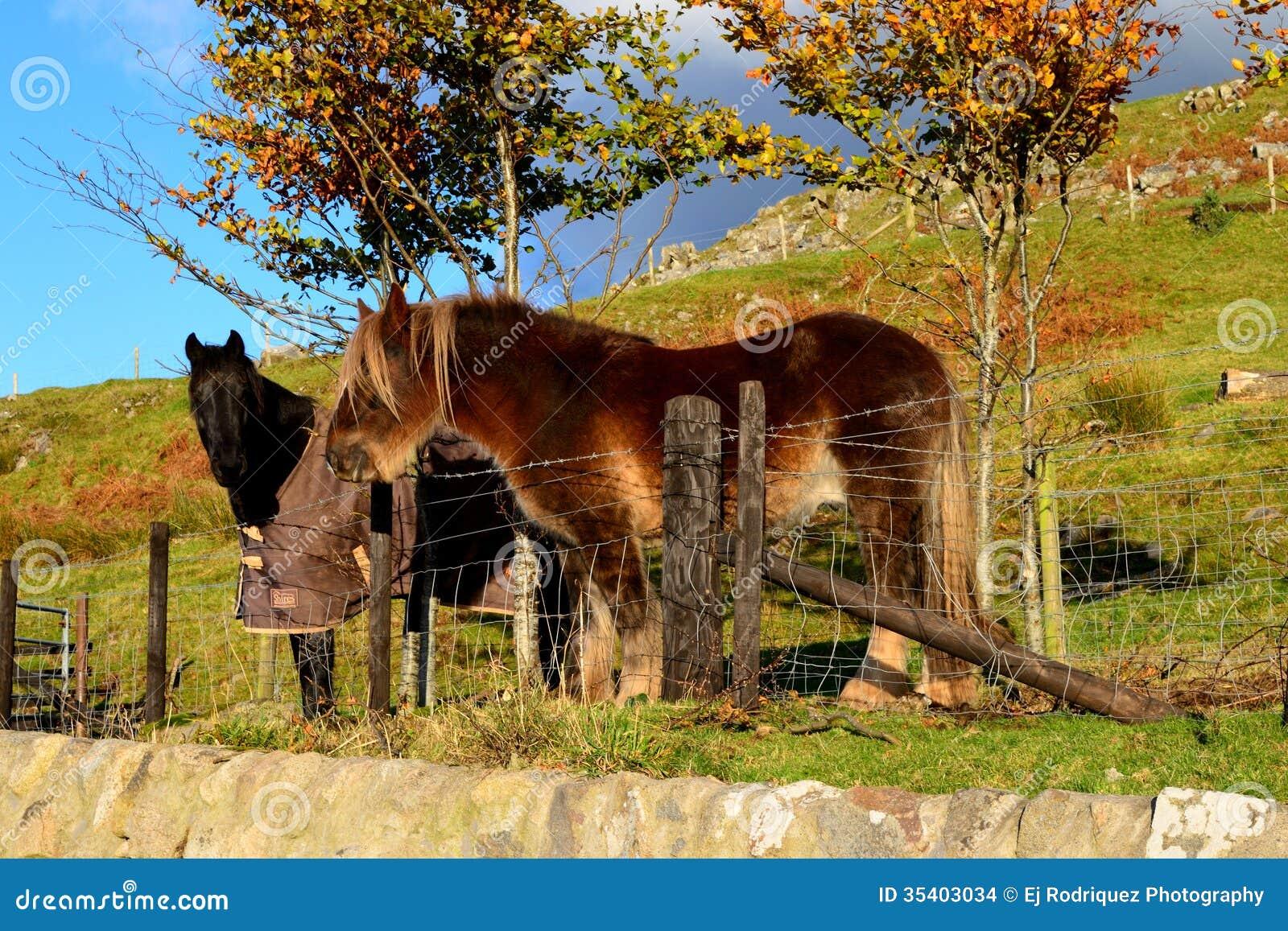 Beautiful Horses In Scottish Sun Stock Photo Image 35403034