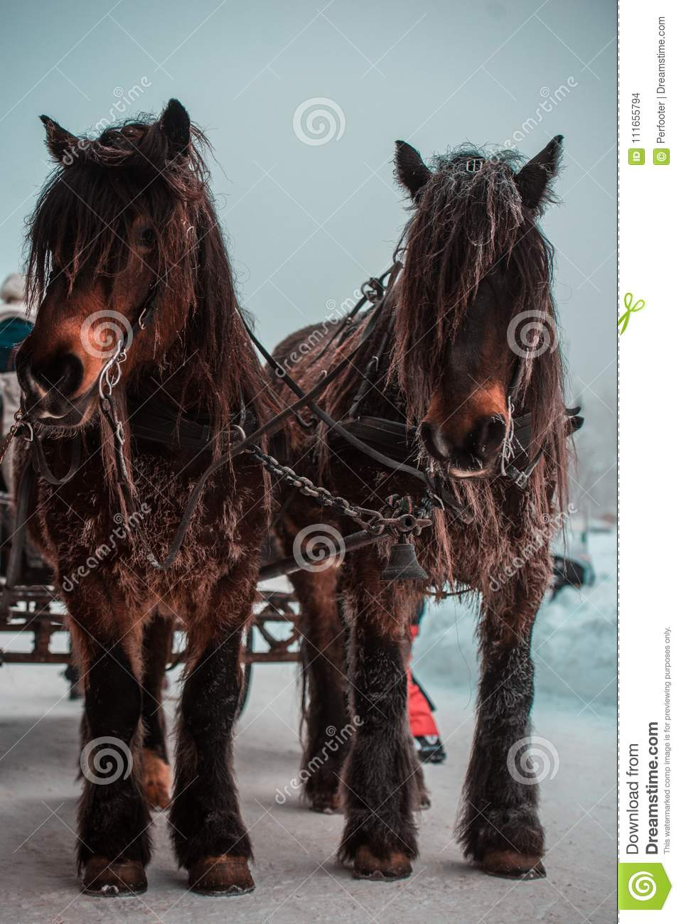 Beautiful Horses During Winter Pulling Chariot Stock Photo Image Of Pets Chains 111655794