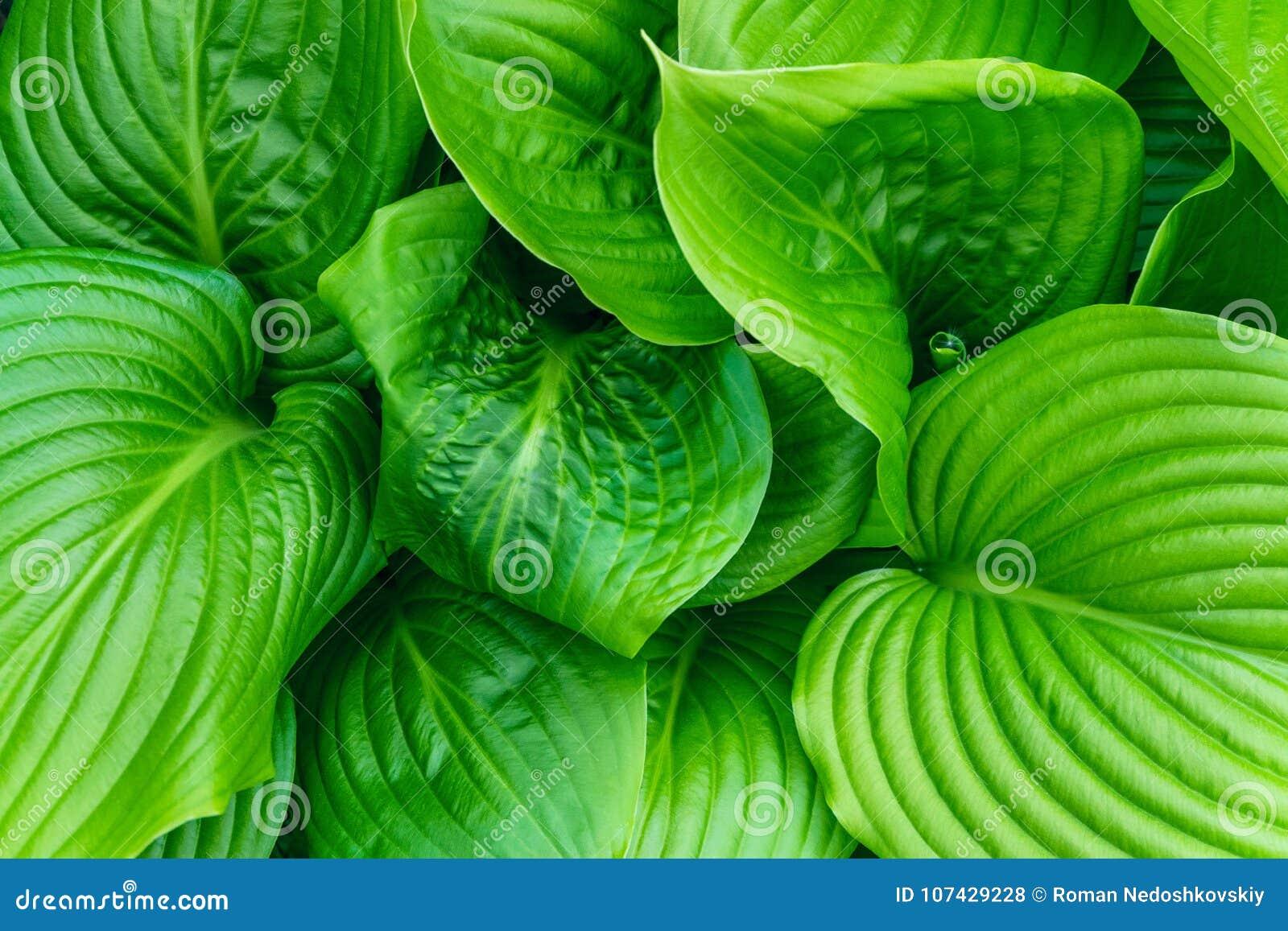 Beautiful Hosta leaves background. Hosta - an ornamental plant for landscaping park and garden design.
