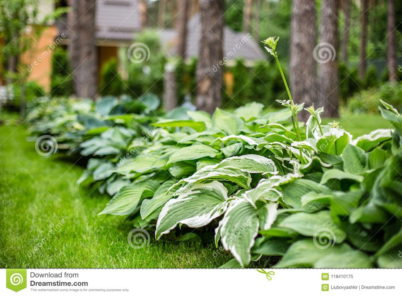 Beautiful Hosta Leaves Background Hosta An Ornamental Plant For