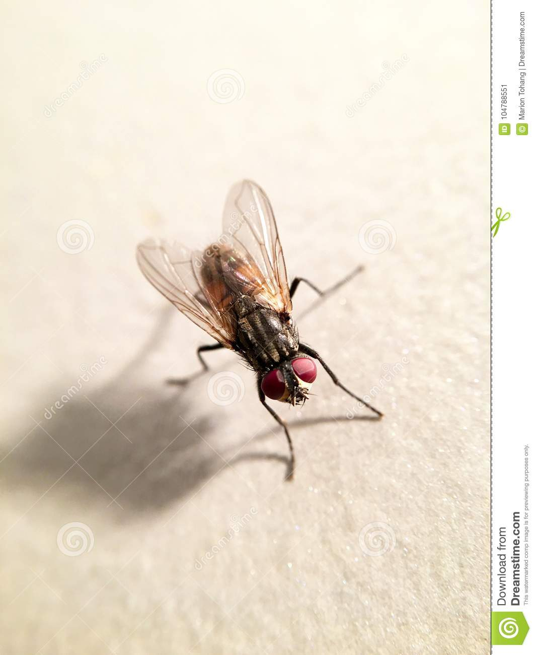 Beautiful House Fly Musca Domestica Stock Image - Image of diptera ...