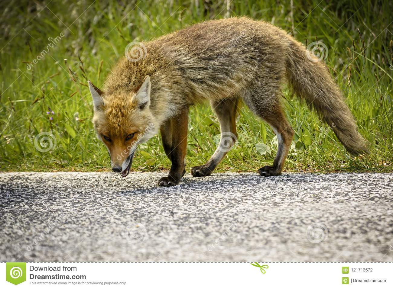 Fox Looking for Food