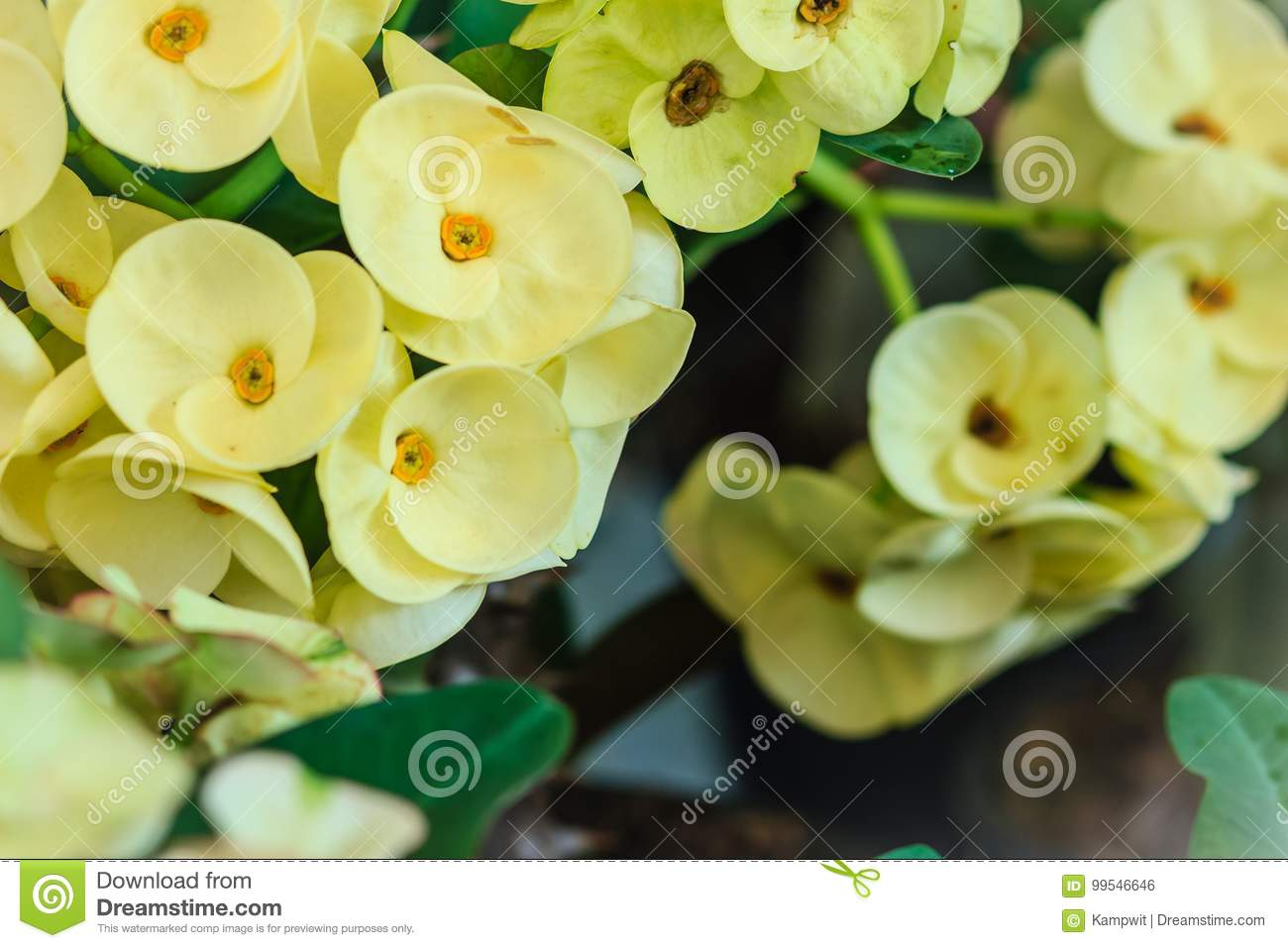 Beautiful hybrid Euphorbia milii (crown of thorns, Christ plant, Christ thorn) yellow flower for sale at the tree market. Yellow
