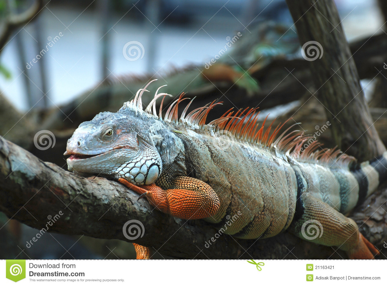 The beautiful iguana portrait against black background.