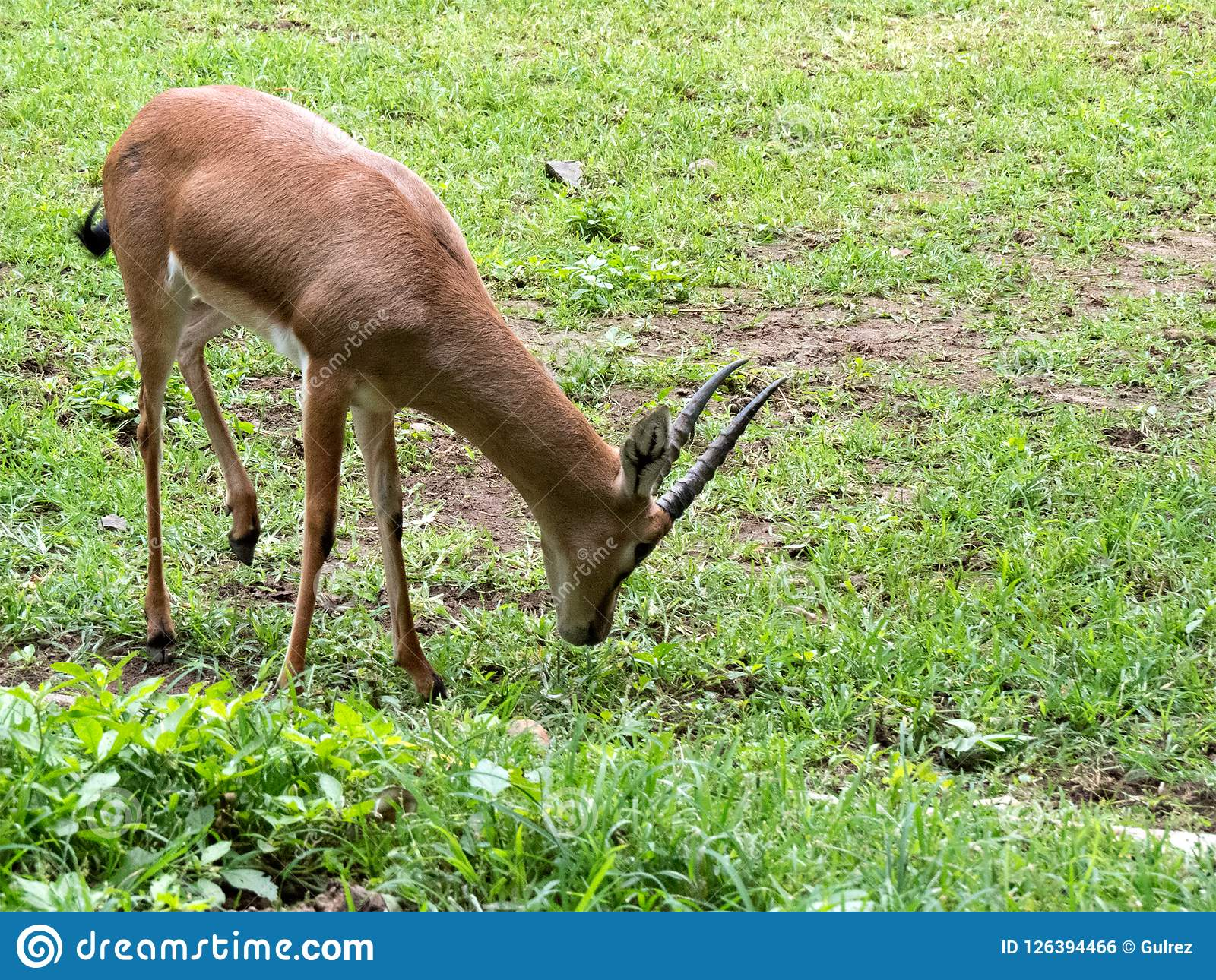 Indian Gazelle Or Chinkara Eating Grass Stock Photo - Image of