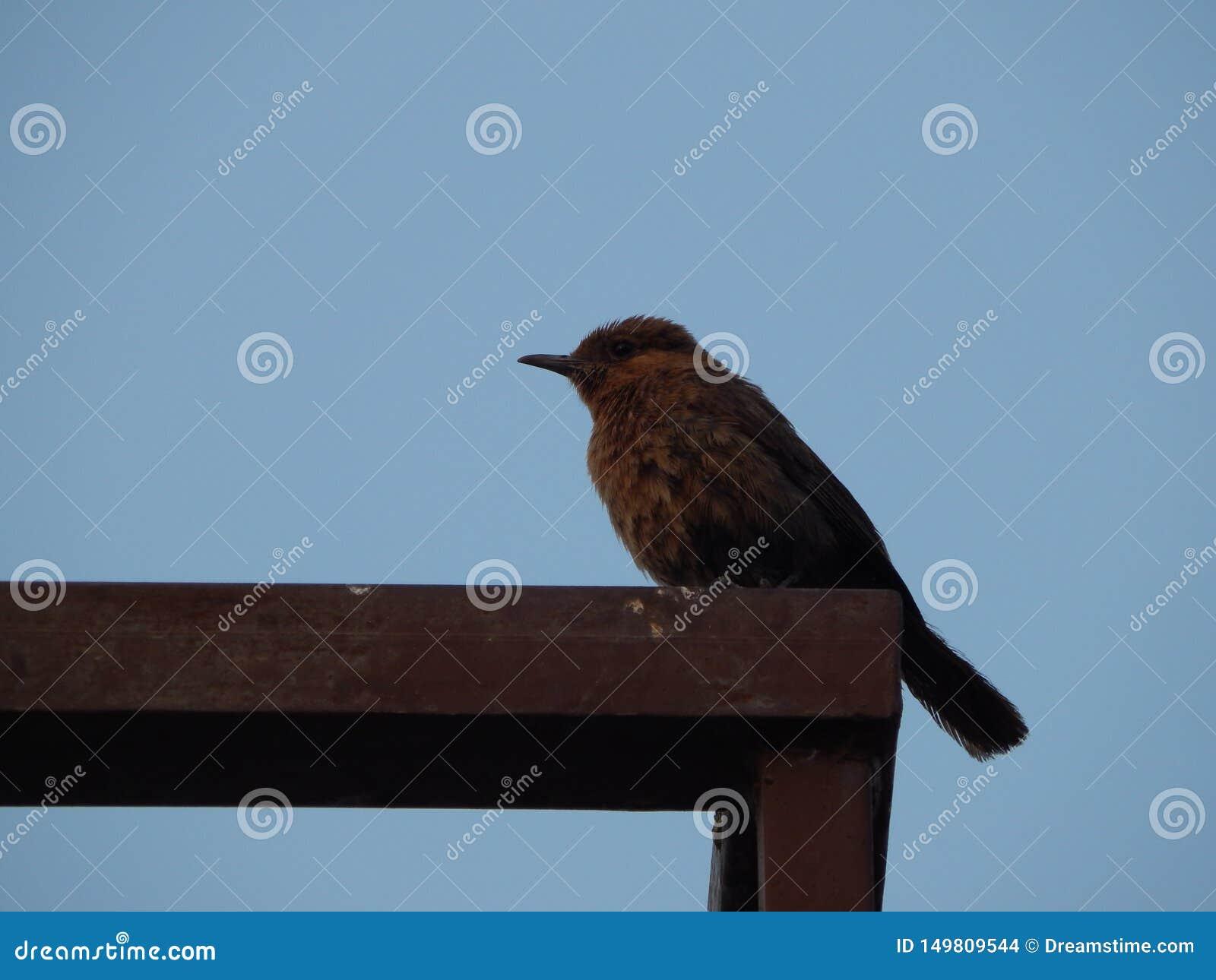 A beautiful Indian nightingale in India
