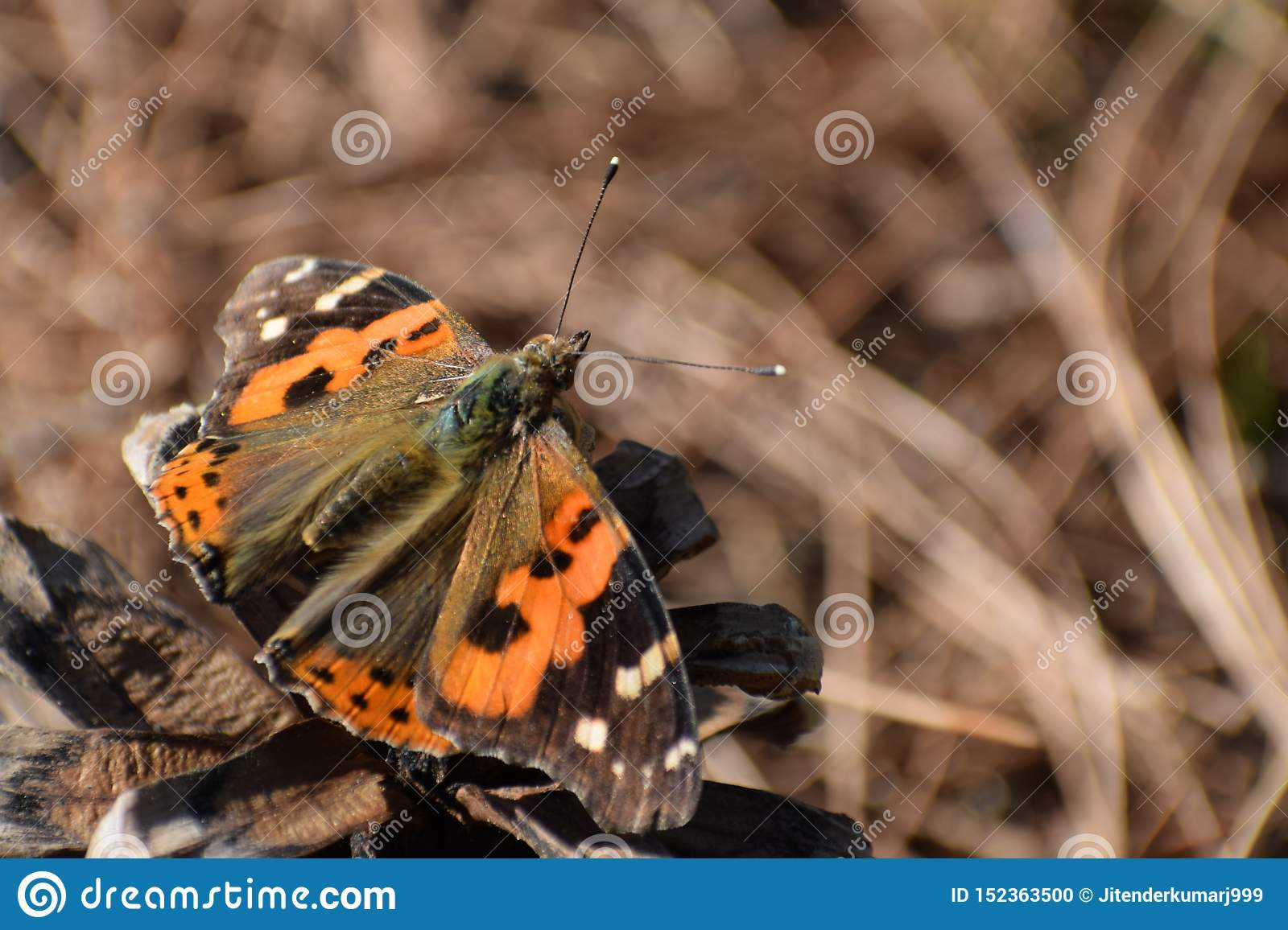 Beautiful indian red admiral vanessa indica butterfly.