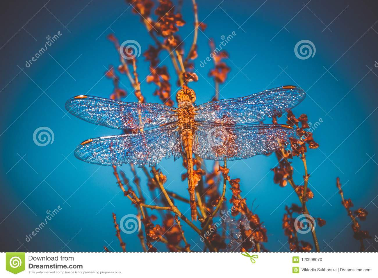 A beautiful insect of a dragonfly Sympetrum Vulgatum Against a background of a blue sky background. Toning