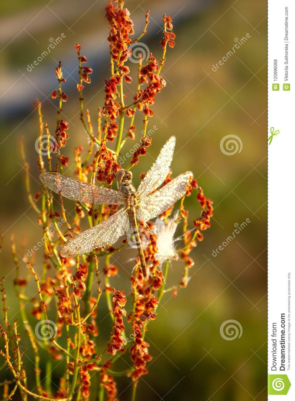 A beautiful insect of a dragonfly Sympetrum vulgatum against a background of green vegetative natural background. Toning