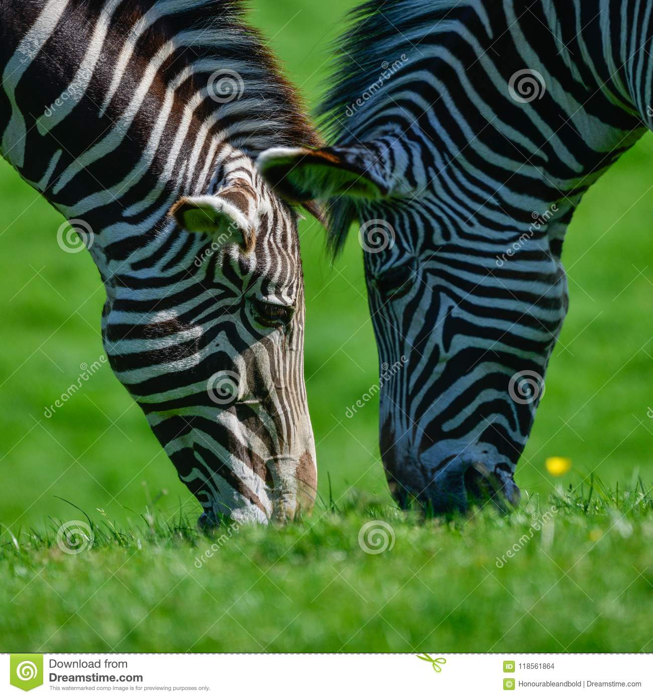 Beautiful vibrant intimate close up portrait of Chapman`s Zebra