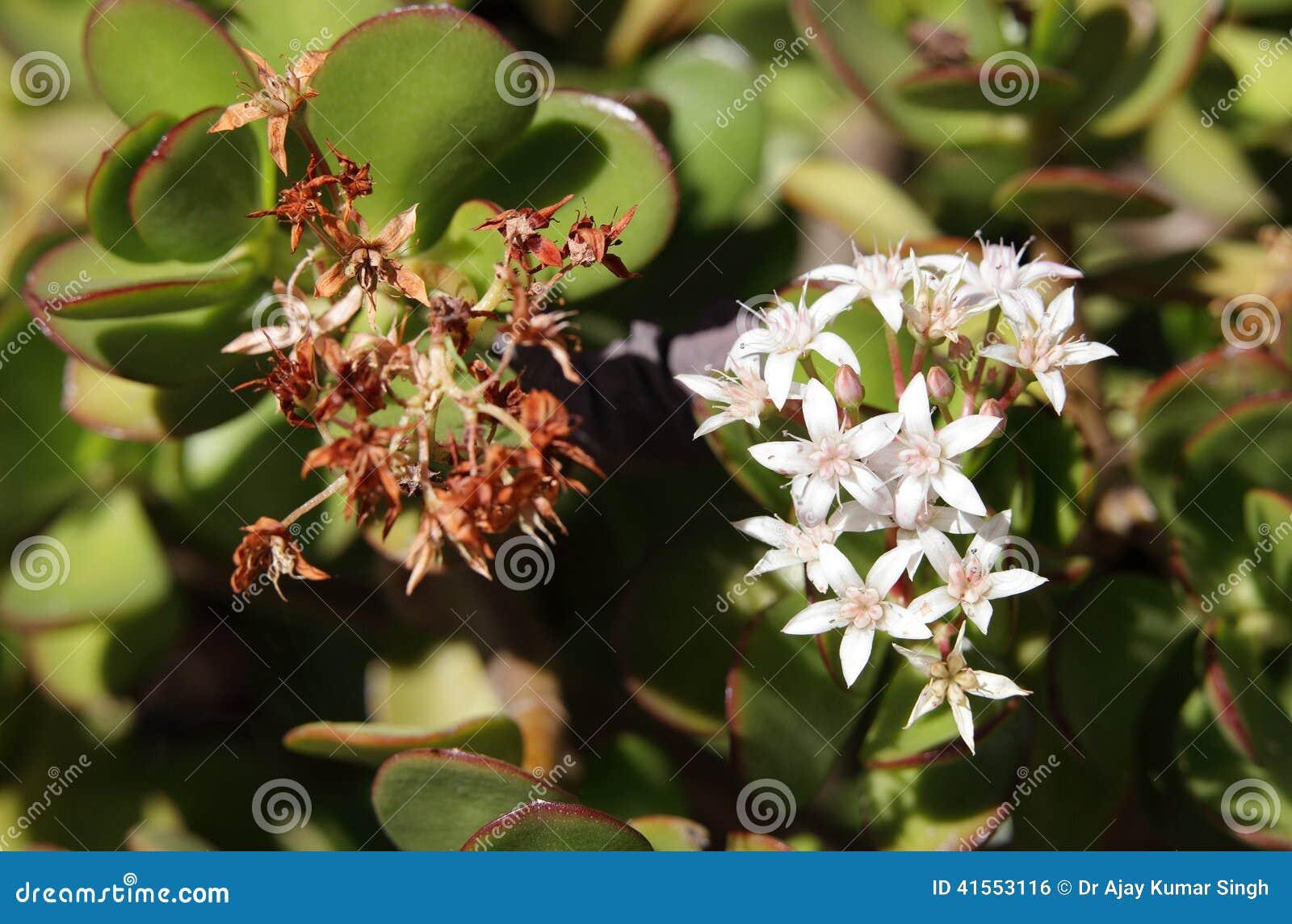 Beautiful Jade Plant Flowers Stock Photo Image Of Beautiful Flora