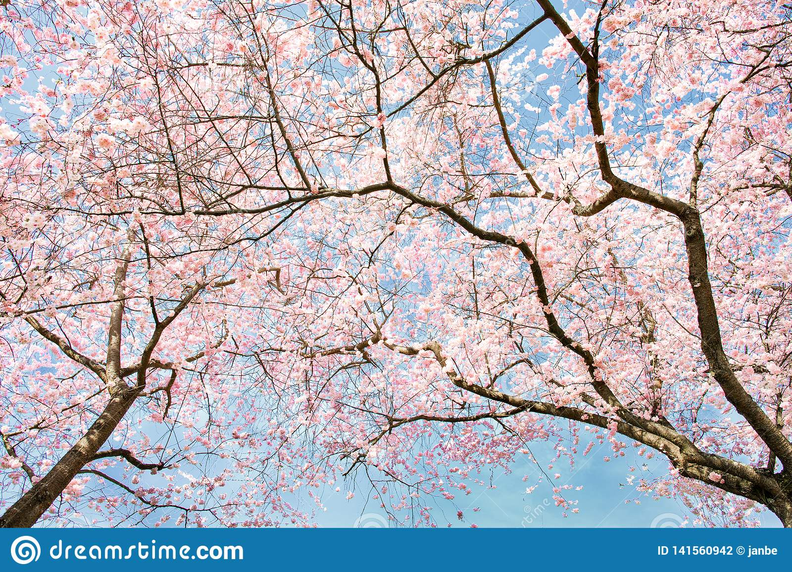Beautiful Japanese Cherry Blossom Trees In Spring Stock Photo