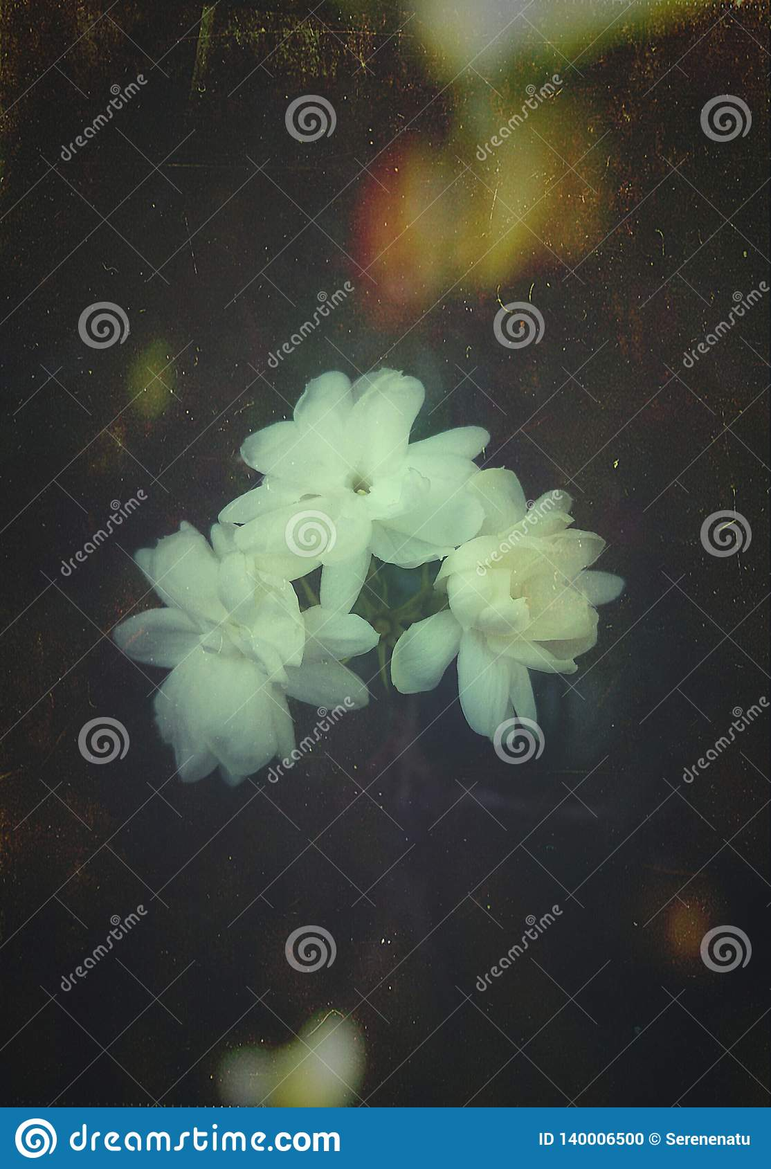 Beautiful Jasmine flowers of India with an artistic touch