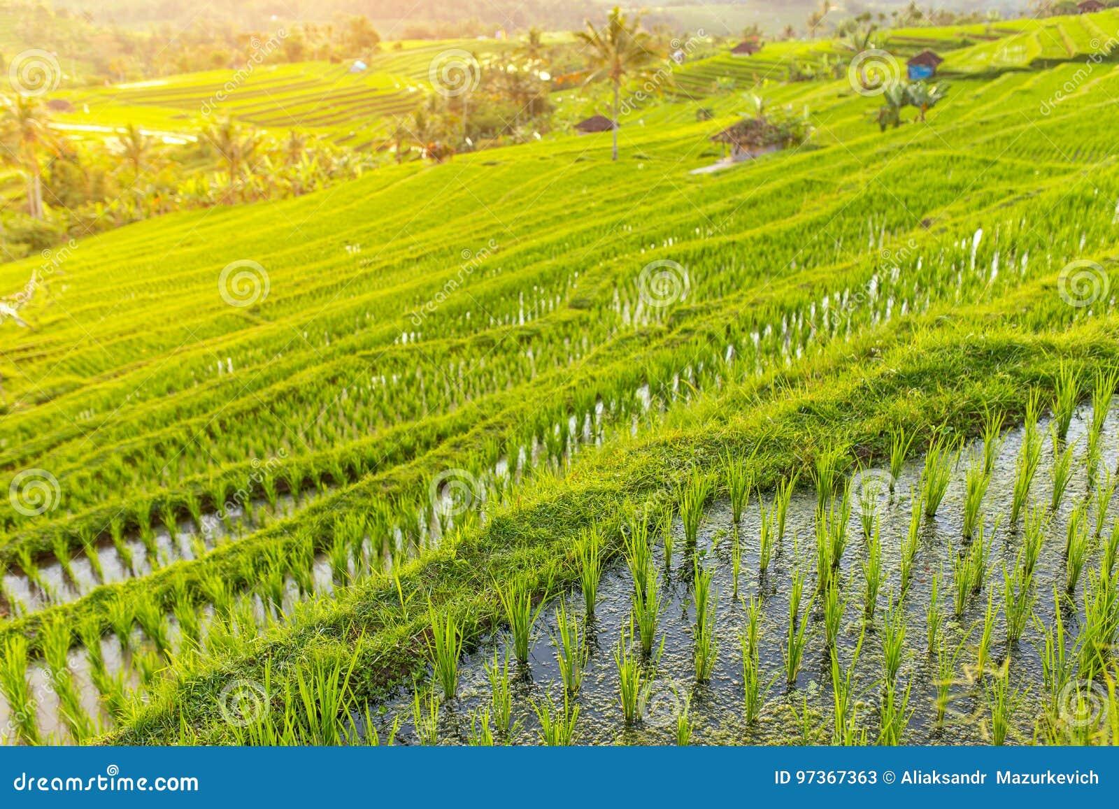 Beautiful Jatiluwih Rice Terraces In Bali Stock Image Image Of